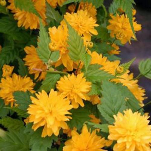 kerria japonica pleniflora scotplants direct. Black Bedroom Furniture Sets. Home Design Ideas