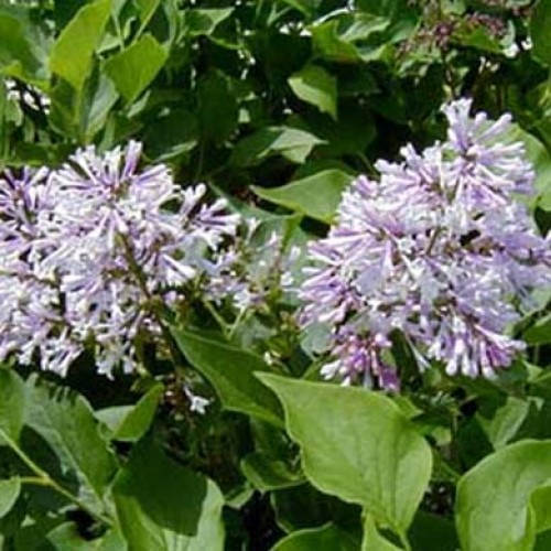 Syringa patula - (Lilac) Miss Kim - 60-90cm - Pot Grown s716