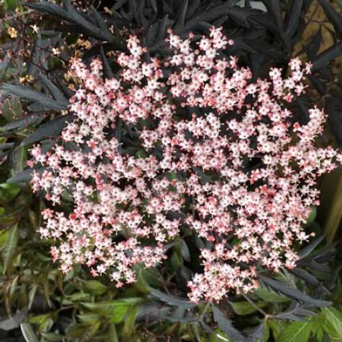 sambucus nigra black beauty scotplants direct. Black Bedroom Furniture Sets. Home Design Ideas