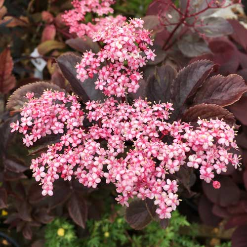 Sambucus Thundercloud Common Elder