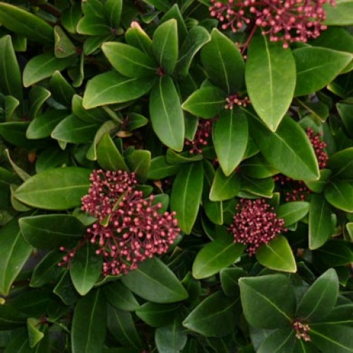 Skimmia Fragrant Cloud Evergreen