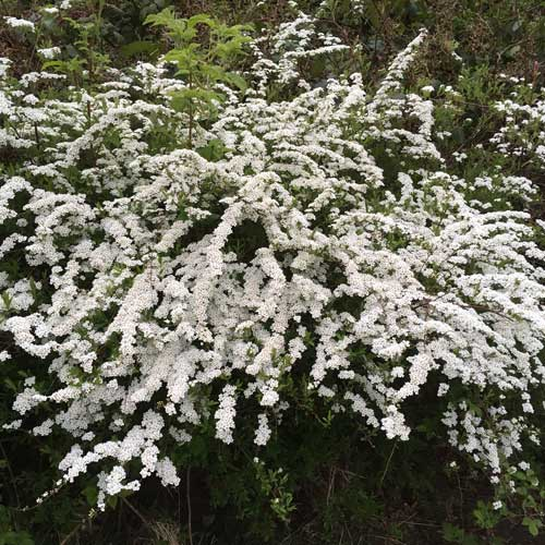Spiraea Arguta Bridal Wreath
