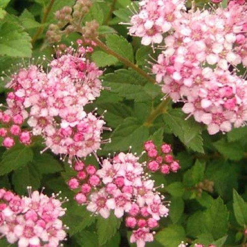 Spiraea Little Princess