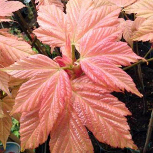Acer pseudoplatanus Brilliantissimum | ScotPlants Direct