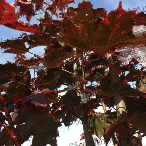 Acer Crimson King Colourful Trees