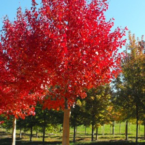 Acer rubrum Autumn Flame Maple