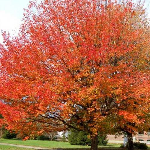 acer rubrum october glory maple tree 5ft 6ft scotplants. Black Bedroom Furniture Sets. Home Design Ideas
