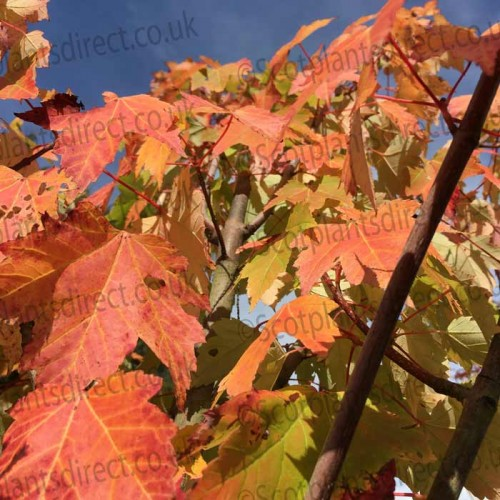 Acer rubrum October Glory Maple