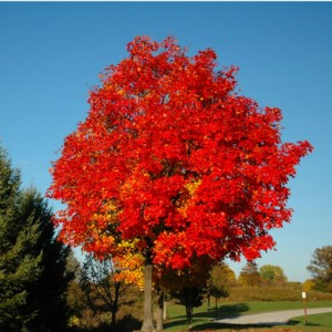 Acer rubrum Red Sunset Canadian  Maple Tree