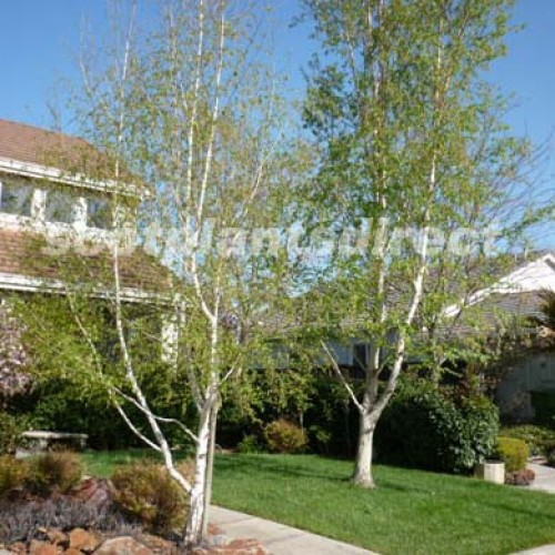 Silver Himalayan Birch Tree | ScotPlantsDirect