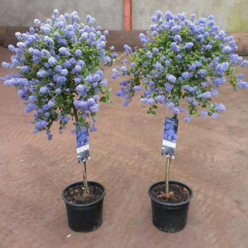 Ceanothus Repens Tree | ScotPlants Direct