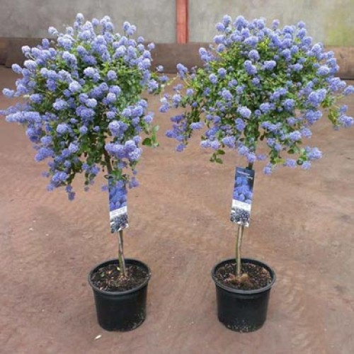 Small Evergreen Shrubs For Pots: ScotPlants Direct