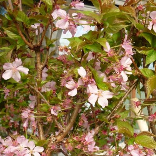 Prunus nipponica ruby dwarf flowering cherry tree scotplants for Dwarf flowering trees