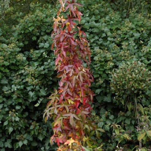 Sweet Gum Tree | ScotPlants Direct
