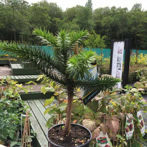 Monkey Puzzle Tree | ScotPlants Direct