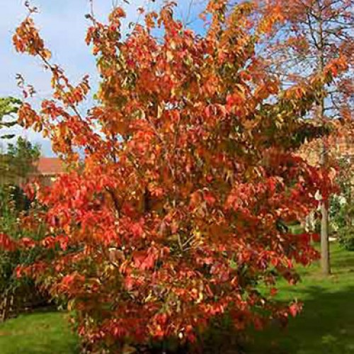 parrotia persica spire tree pot grown scotplants direct. Black Bedroom Furniture Sets. Home Design Ideas