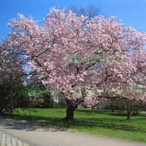 Prunus accolade Flowering Cherry Tree