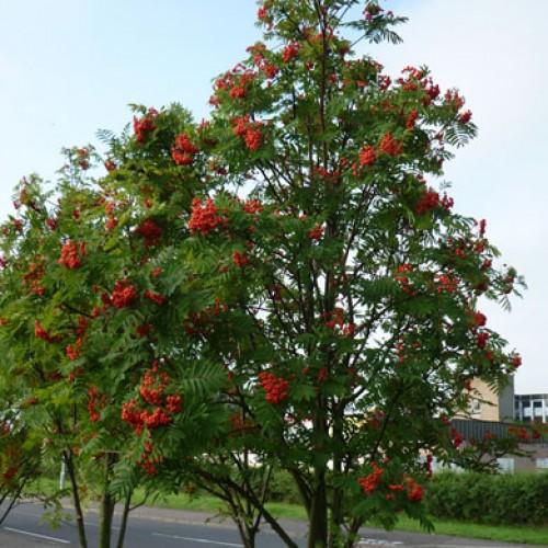 Rowan Sorbus Aucuparia Potted Scotplants Direct