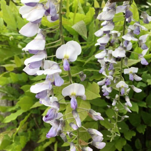 Wisteria sinensis Prolific | ScotPlants Direct