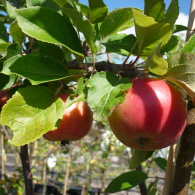 how to take care of apple trees