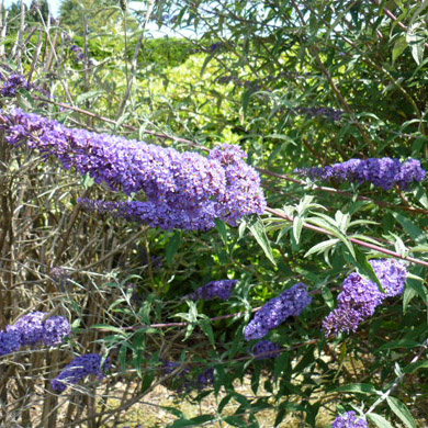 Buddleja (Butterfly Bush)
