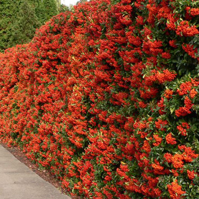Pyracantha Hedge - Pot Grown