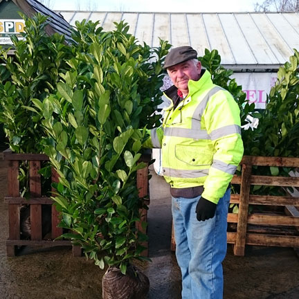 Laurel Hedging- Rootballs