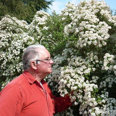 Olearia Hedging - Pot Grown