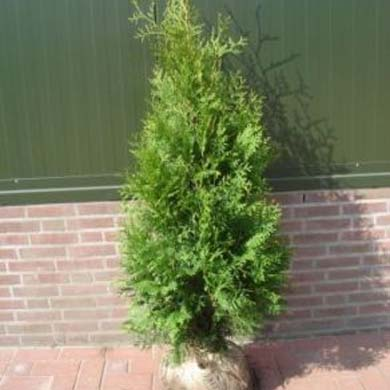 Thuja Hedge - Rootball